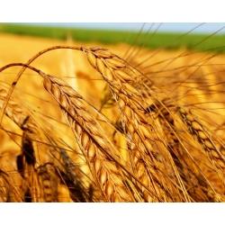 Масло зародышей пшеницы нерафинированное, 50 мл